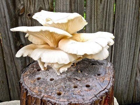 Oyster Mushroom Sampler